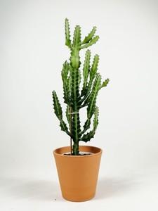 Fidan Burada - Euphorbia Lactea Kaktüs 40-50 cm Özel Ürün