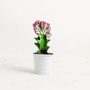 Ücretsiz Kargo - Euphorbia Lactea variegata (Cristata) Aşılı Kaktüs Beyaz Saksılı