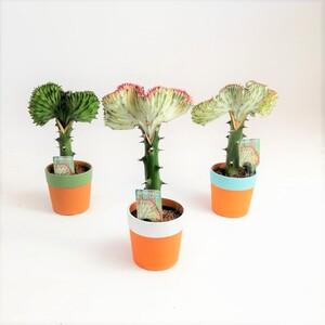 Fidan Burada - Euphorbia Lactea variegata (Cristata) Terracota Saksılı Aşılı Kaktüs