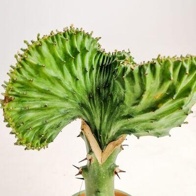 Euphorbia Lactea variegata (Cristata) Terracota Saksılı Aşılı Kaktüs