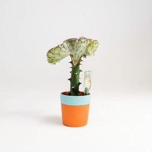 Euphorbia Lactea variegata (Cristata) Terracota Saksılı Aşılı Kaktüs - Thumbnail