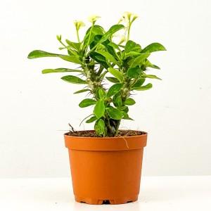 Fidan Burada - Euphorbia Milii Dikenler Tacı Beyaz Çiçekli 20cm