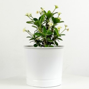 Fidan Burada - Euphorbia Milii Dikenler Tacı Beyaz - Leo Beyaz Saksılı