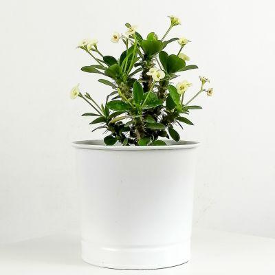 Euphorbia Milii Dikenler Tacı Beyaz - Leo Beyaz Saksılı