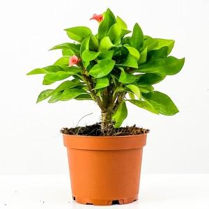 Fidan Burada - Euphorbia Milii Dikenler Tacı Pembe Çiçekli 20cm
