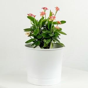 Fidan Burada - Euphorbia Milii Dikenler Tacı Pembe - Leo Beyaz Saksılı