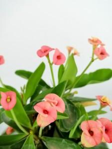 Euphorbia Milii Dikenler Tacı Pembe - Leo Beyaz Saksılı - Thumbnail