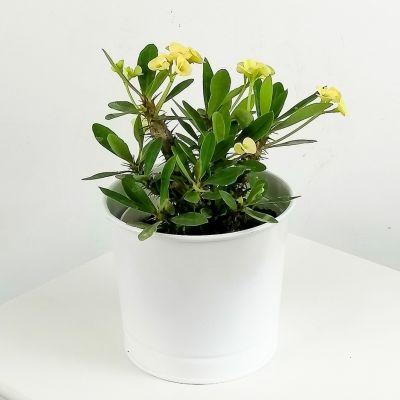 Euphorbia Milii Dikenler Tacı Sarı - Leo Beyaz Saksılı