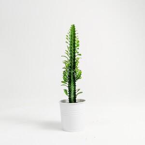 Fidan Burada - Euphorbia Trigona - Beyaz Saksılı