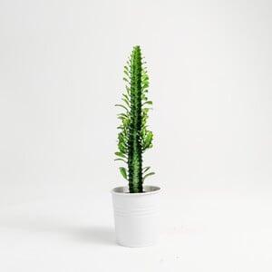 Ücretsiz Kargo - Euphorbia Trigona Green - Beyaz Saksılı