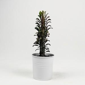 Ücretsiz Kargo - Euphorbia Trigona Rubra - Beyaz Saksılı