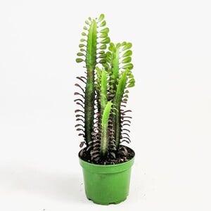 Fidan Burada - Euphorbia Trigona Rubra