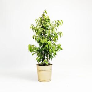 Ücretsiz Kargo - Ficus Anastasia - Benjamin Bitkisi 100-120 Cm