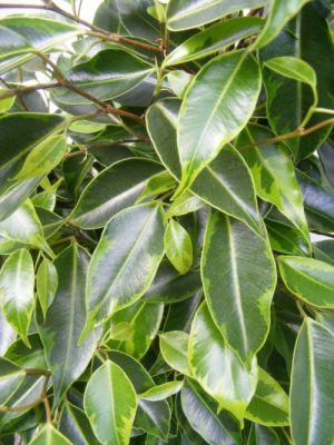 Ficus Benjamina Anastasia - Benjamin Bitkisi 80-100Cm
