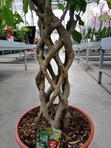 Ficus Benjamin Kafes Örgülü-Salon Bitkisi-100-120 Cm - Thumbnail