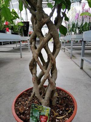 Ficus Benjamin Kafes Örgülü-Salon Bitkisi-100-120 Cm