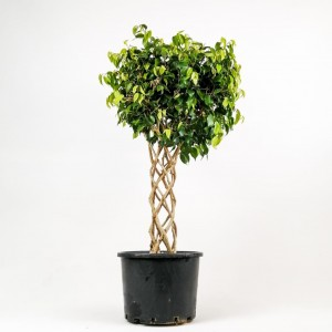 Ücretsiz Kargo - Ficus Benjamin Kafes Örgülü-Salon Bitkisi-100-120 Cm