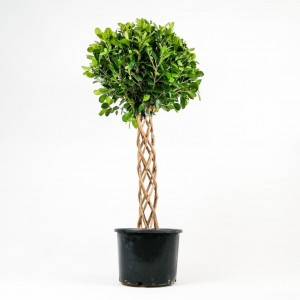 Fidan Burada - Ficus Benjamin Microcarpa Kafes Örgülü-100-120cm