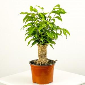 Fidan Burada - Ficus Benjamin Natasja 30-40cm