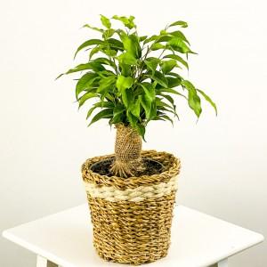 Fidan Burada - Ficus Benjamin Natasja Lanesse Hasır Saksılı Beyaz 30-40cm