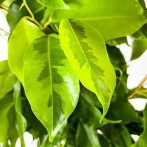 Ficus Benjamina Anastasia Benjamin Bitkisi 80-100cm - Thumbnail