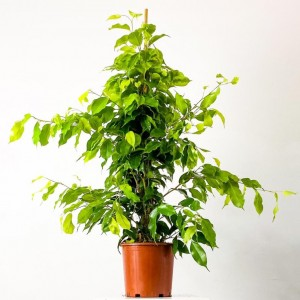 Fidan Burada - Ficus Benjamina Anastasia Benjamin Bitkisi 80-100cm