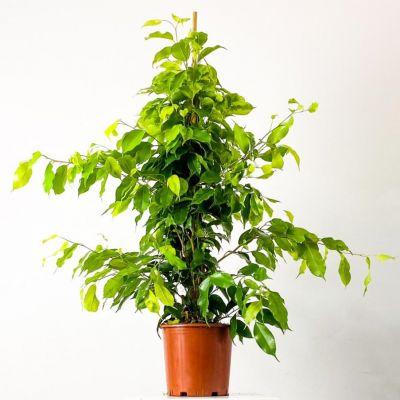 Ficus Benjamina Anastasia Benjamin Bitkisi 80-100cm