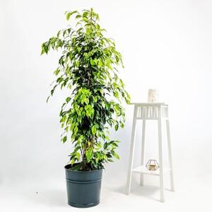 Fidan Burada - Ficus Benjamina Anastasia - Benjamin Bitkisi 150cm