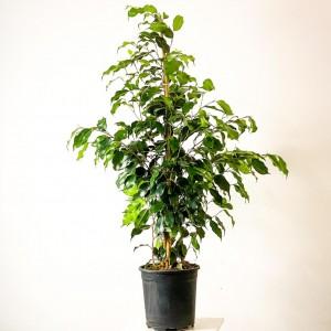Fidan Burada - Ficus Benjamina Danielle Benjamin Bitkisi 100-120cm