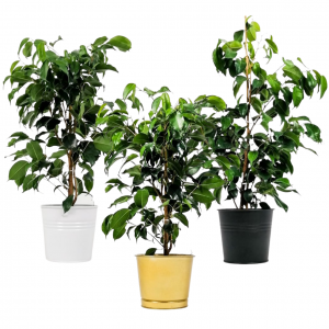 Fidan Burada - Ficus Benjamina Danielle-Dekoratif Saksılı Benjamin Bitkisi 80cm
