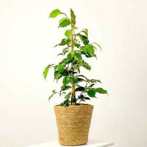 Fidan Burada - Ficus Benjamina Danielle Oly Düz Hasır Saksılı 60-80cm