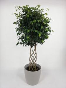 Fidan Burada - Ficus Benjamina Exotica Çit Örgülü-Salon Bitkisi-120-140 Cm