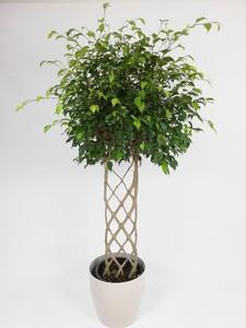 Fidan Burada - Ficus Benjamina Exotica Çit Örgülü-Salon Bitkisi-160 Cm
