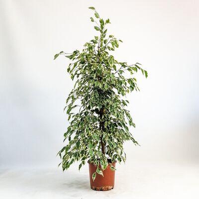 Ficus Starlight-Alacalı Benjamin Bitkisi 120-140 Cm
