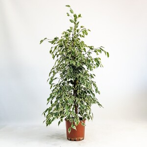 Ücretsiz Kargo - Ficus Starlight-Alacalı Benjamin Bitkisi 120-140 Cm