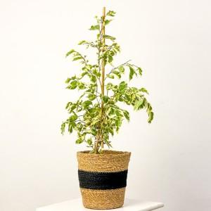 Fidan Burada - Ficus Benjamina Starlight Oly Siyah Hasır Saksılı 60-80cm