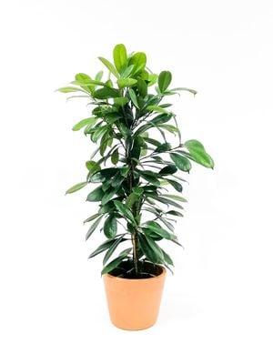 Ficus Cyathistipula-Küçük Yapraklı Kauçuk-İthal-90-100 Cm