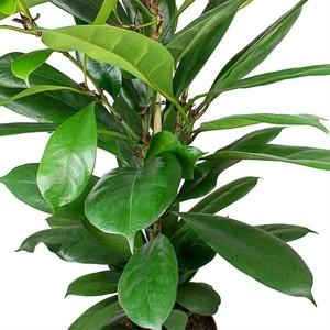 Ficus Cyathistipula-Küçük Yapraklı Kauçuk-İthal-90-100 Cm - Thumbnail