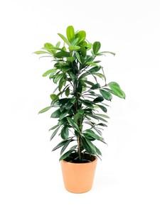 Fidan Burada - Ficus Cyathistipula-Küçük Yapraklı Kauçuk-İthal-90-100 Cm