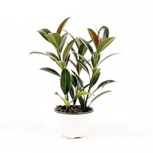 Ücretsiz Kargo - Ficus Elastica Melany - Kauçuk 3 Gövdeli 30-40 cm