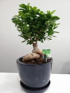 Fidan Burada - Ficus Ginseng Bonsai-Lacivert Seramik Saksılı-Özel Ürün