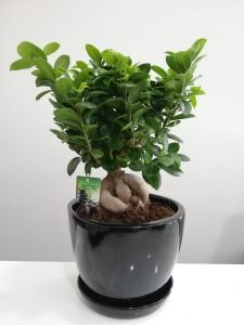 Fidan Burada - Ficus Ginseng Bonsai-Siyah Seramik Saksılı-Özel Ürün