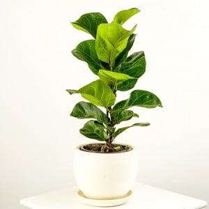 Fidan Burada - Ficus Lyrata Bambino - Curvy Beyaz Saksılı Pandora Kauçuğu- 40-60cm