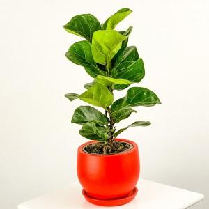Fidan Burada - Ficus Lyrata Bambino - Curvy Kırmızı Saksılı Pandora Kauçuğu- 40-60