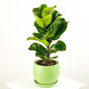 Fidan Burada - Ficus Lyrata Bambino - Curvy Mint Yeşili Saksılı Pandora Kauçuğu- 40-60cm