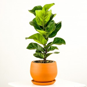 Fidan Burada - Ficus Lyrata Bambino - Curvy Terra Cotta Saksılı Pandora Kauçuğu- 40-60cm