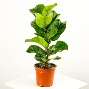 Fidan Burada - Ficus Lyrata Bambino-Pandora Kauçuğu 40-60cm