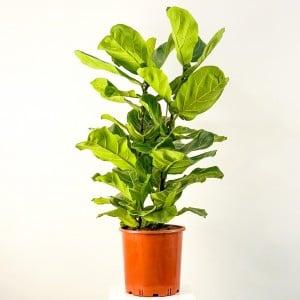 Fidan Burada - Ficus Lyrata Pandora Kauçuğu 100-120cm
