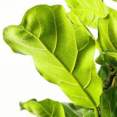 Ficus Lyrata Pandora Kauçuğu 100-120cm