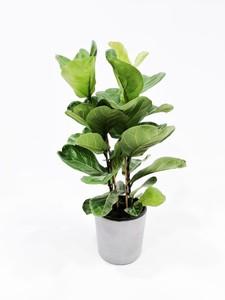 Fidan Burada - Ficus Lyrata-Pandora Kauçuğu-2'li Gövdeli 60-80 Cm